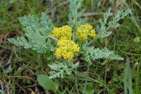 Image of Cymopterus longipes