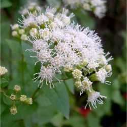Image of Ageratina herbacea