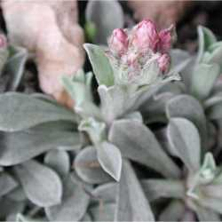 Image of Antennaria rosea