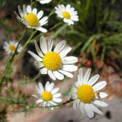 Image of Anthemis cotula