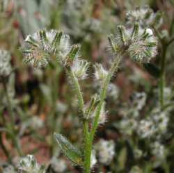 Image of Cryptantha barbigera