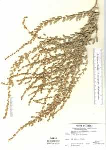 Image of Atriplex griffithsii