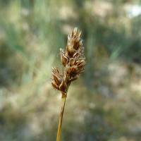Image of Carex duriuscula