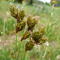 Image of Carex egglestonii