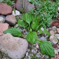 Image of Plantago major