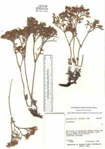 Image of Eriogonum jonesii