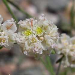 Image of Eriogonum abertianum