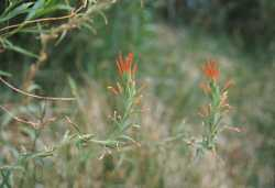 Castilleja minor image