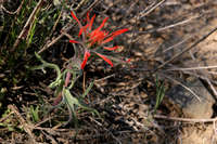 Image of Castilleja chromosa