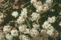Image of Eriogonum heermannii