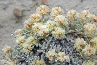 Image of Eriogonum shockleyi