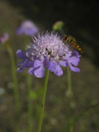 Image of Scabiosa columbaria