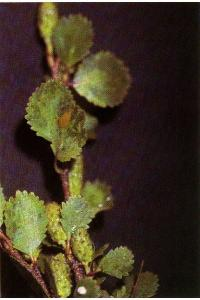 Image of Betula glandulosa