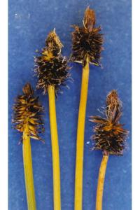 Image of Carex nigricans