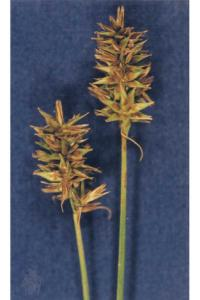 Image of Carex hoodii