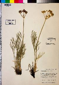 Image of Lomatium kingii
