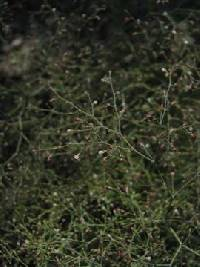 Image of Eriogonum parishii