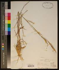 Andropogon virginicus image