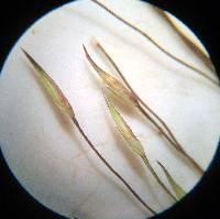 Image of Panicum flexile